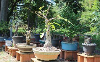 Vai passando os anos e a planta não consegue se desenvolver em altura, mas consegue desenvolver o tronco e, a copa fica compactada dando a impressão de que é uma árvore frondosa mas, não passa de alguns centímetros